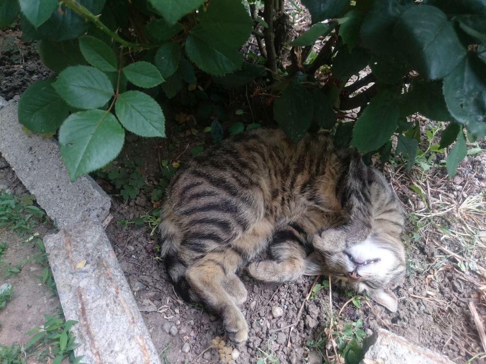 pisica lui Giorge Roman