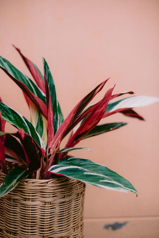 plante cu frunze lungi calathea triostar