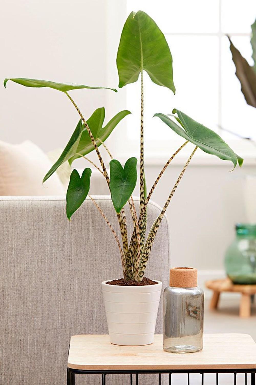 plante de apartament cu frunze mari alocasia zebrina