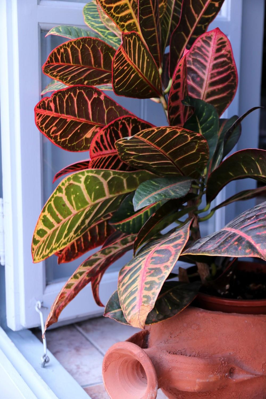 plante de apartament cu frunze mari codiaeum