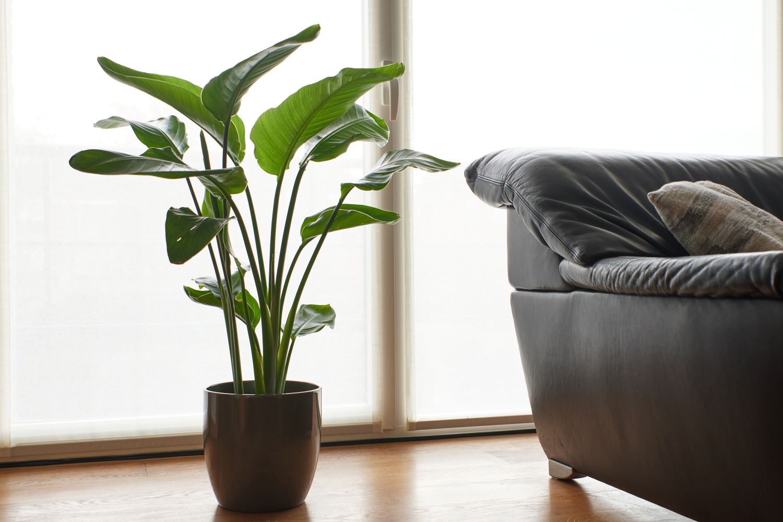 plante de apartament cu frunze mari strelitzia nicolai