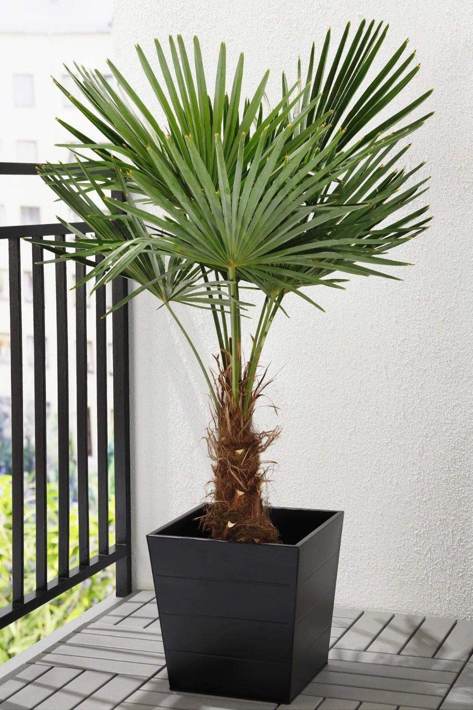plante de apartament cu frunze mari trachycarpus fortunei