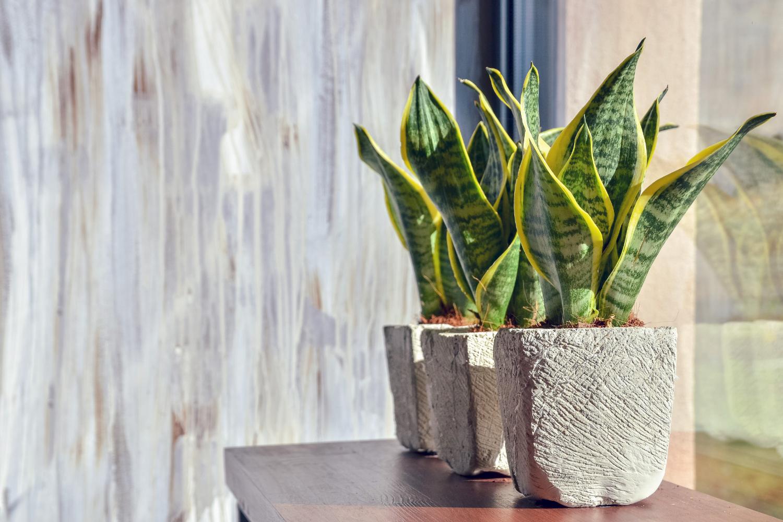 Plante de apartament rezistente planta sansevieria
