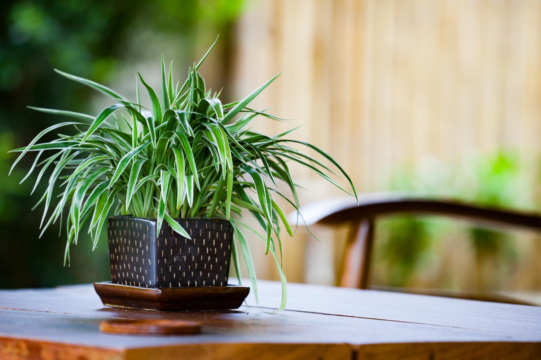 plante nepretențioase