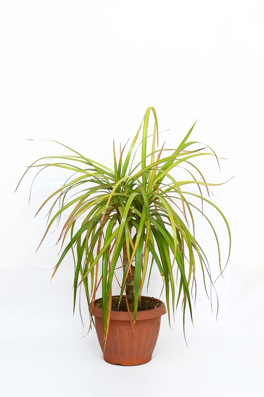plante de apartament dracena