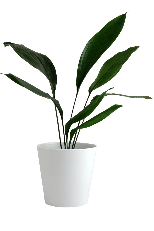 plante de interior rezistente aspidistra elatior 2