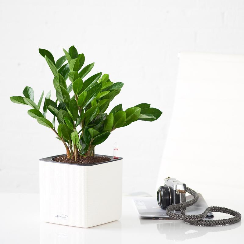 Zamioculcas-Zamiifolia-cu-ghiveci-alb-Lechuza-Cube-20