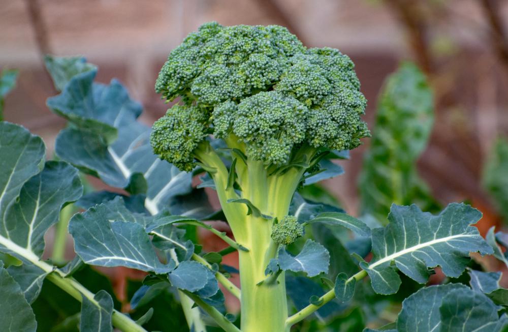 Legume broccoli