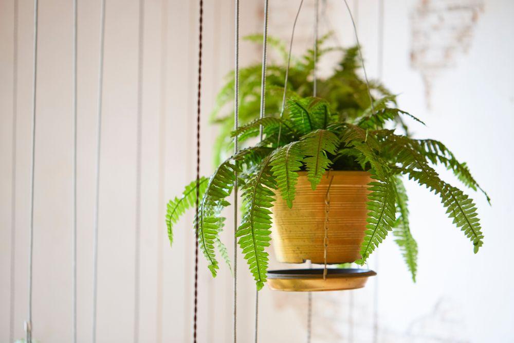 plante de apartament feriga