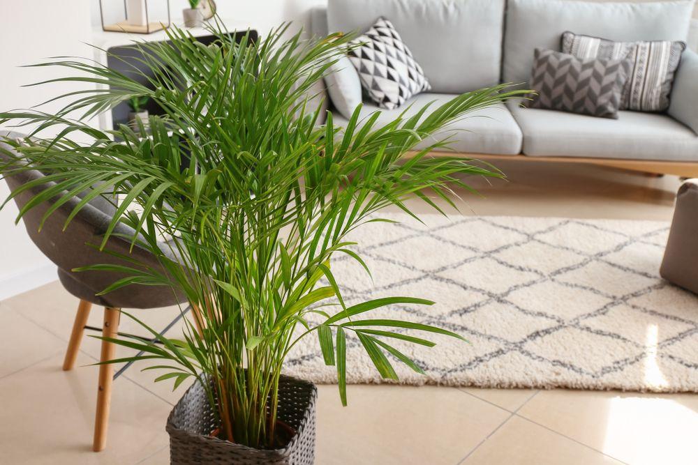 plante de interior palmier areca