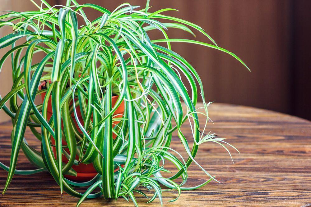planta păianjăn sigură pentru pisici