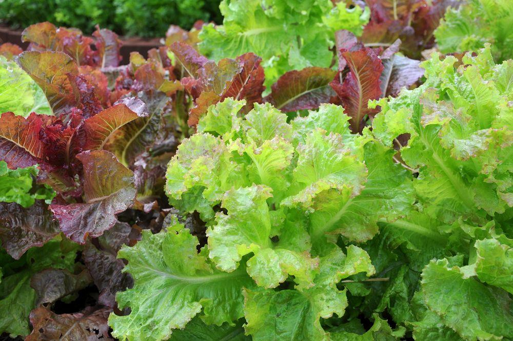 legume pentru grădină salată