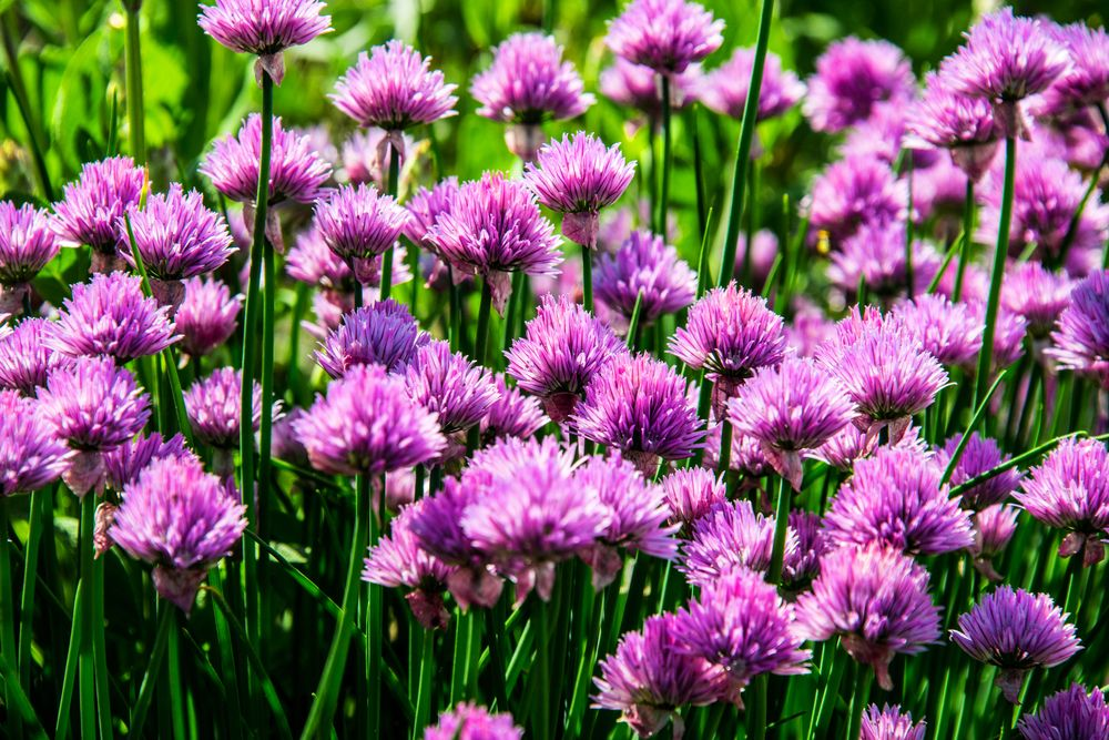 plante repelente arpagic