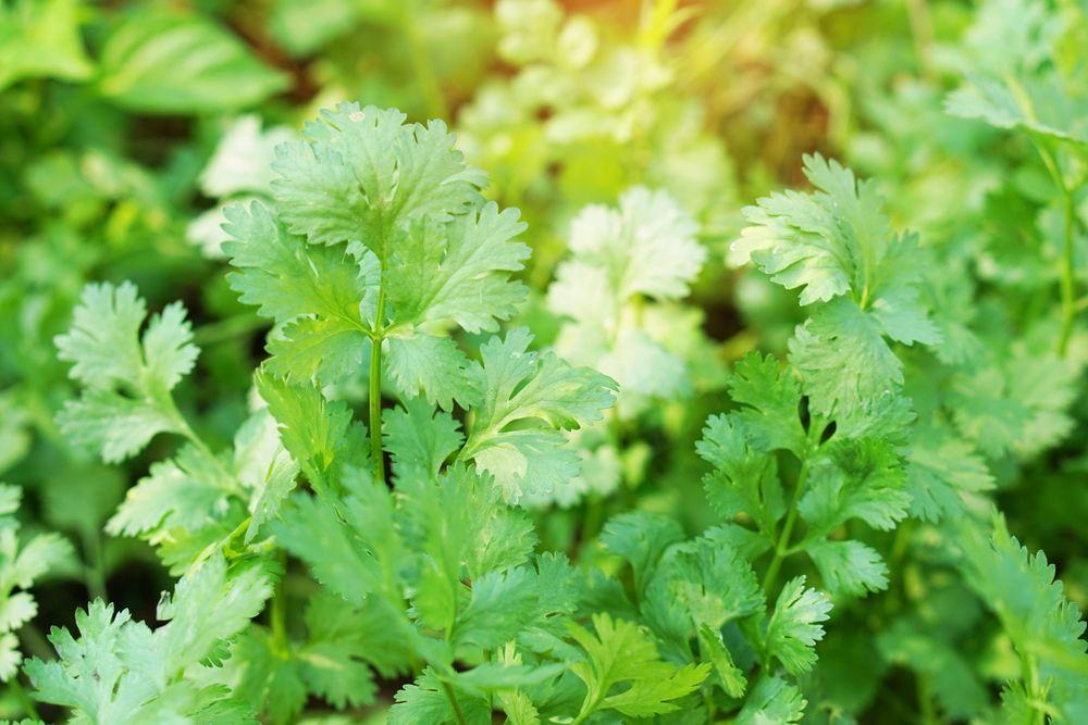 plante repelente pătrunjel