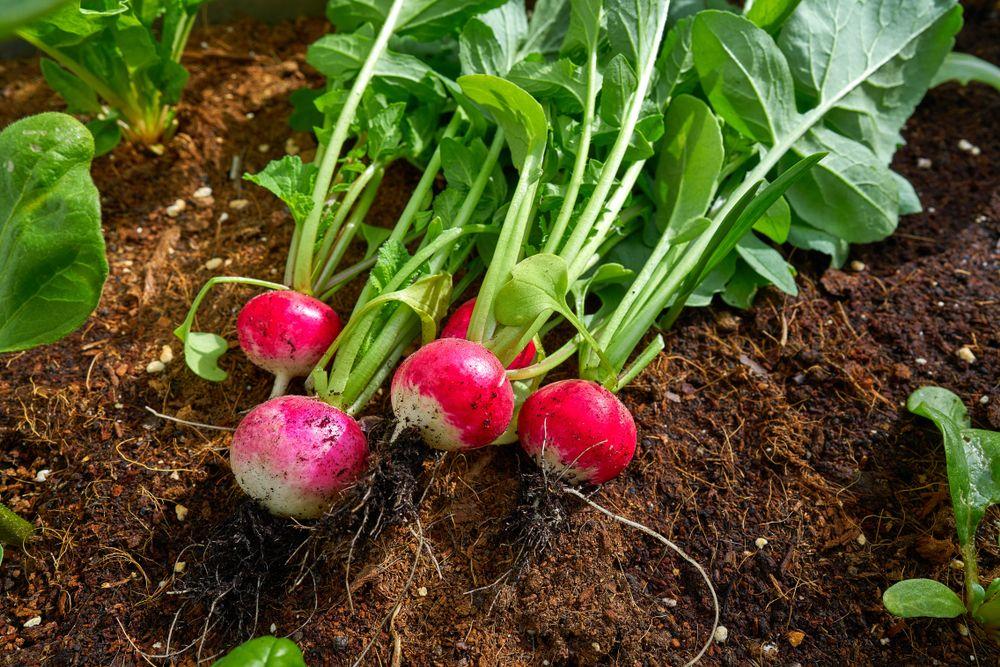 plante repelente ridichi