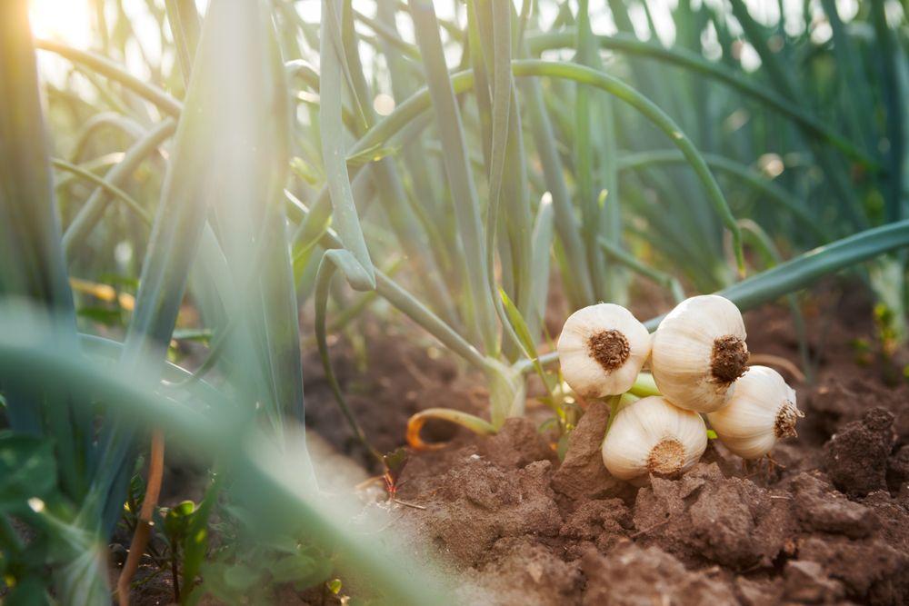 plante repelente usturoi