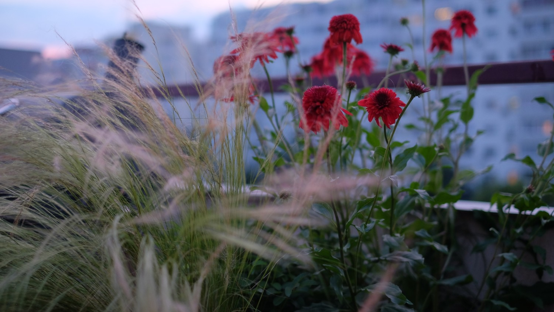2.Perene Echinacea
