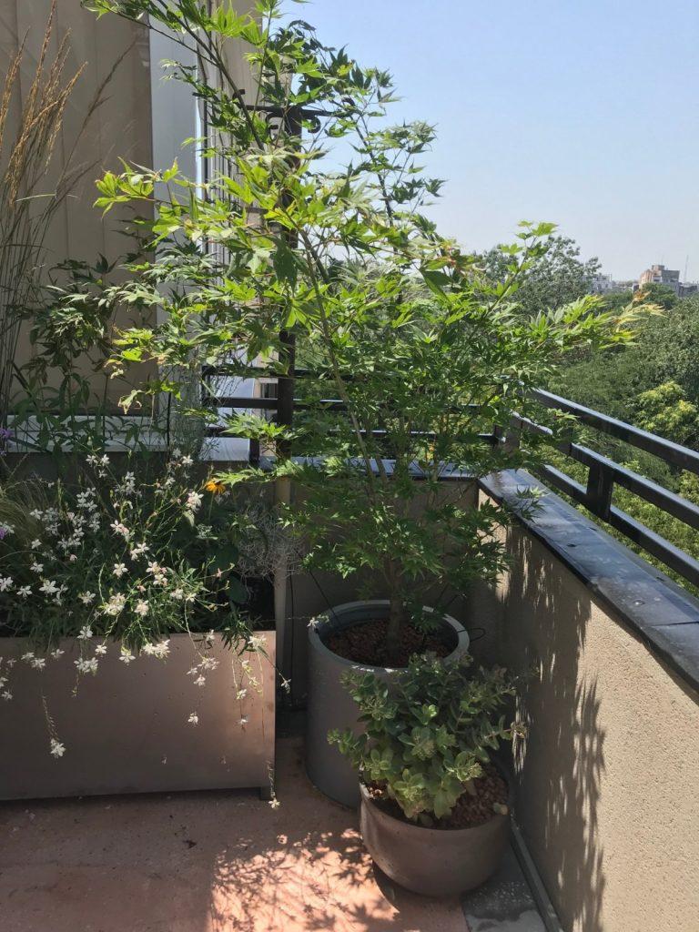 2.Planta cu flori albe din jardiniera Gaura lindheimeri