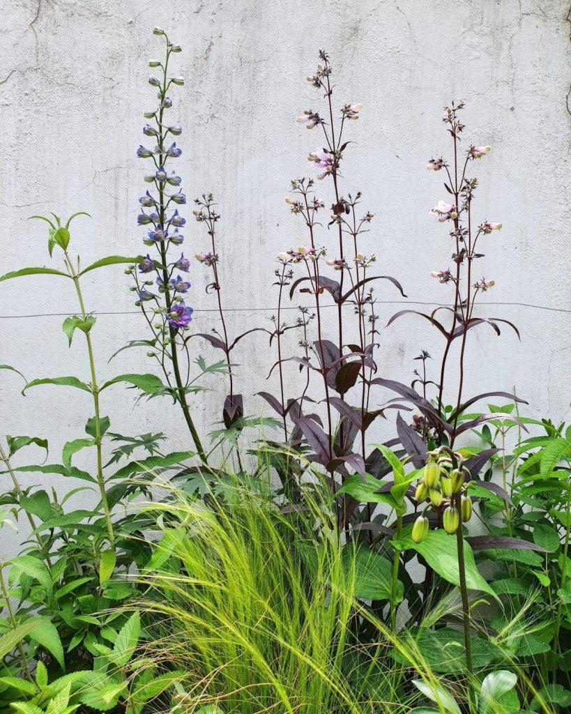 2. Plantele cu flori Delphinium elatum&Penstemon hybrid