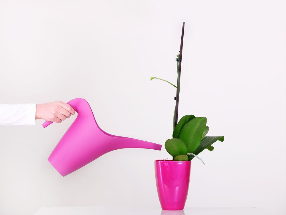 cum se udă orhideele greșeli