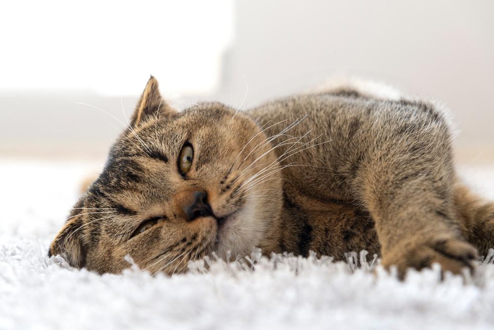 pisica pe covor pufos