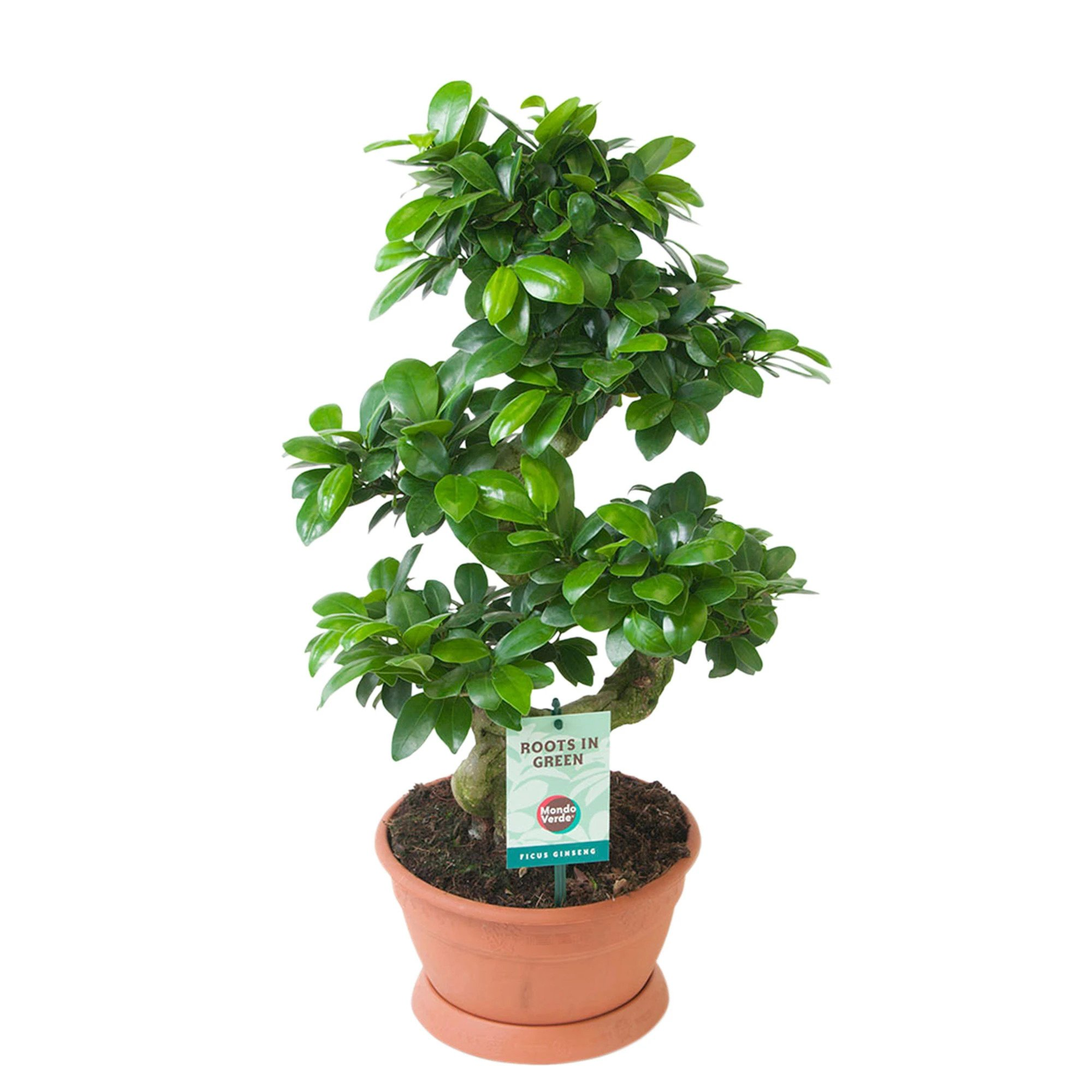 bonsai ginseng in forma de s