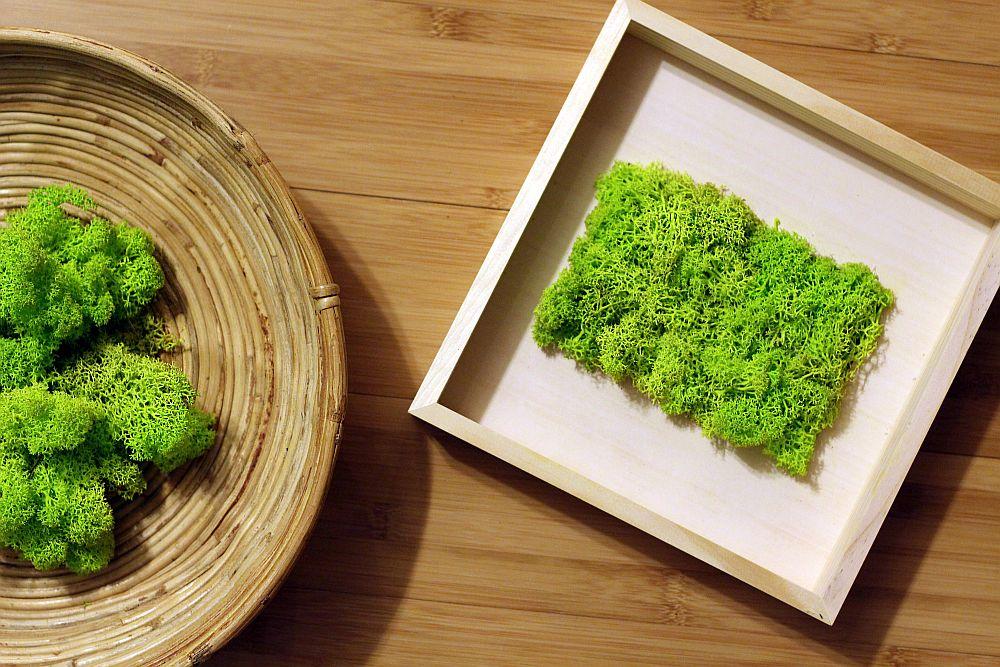 plante de apartament licheni stabilizati