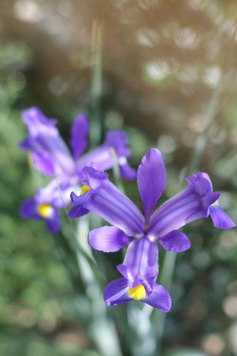 bulbi de flori irisi