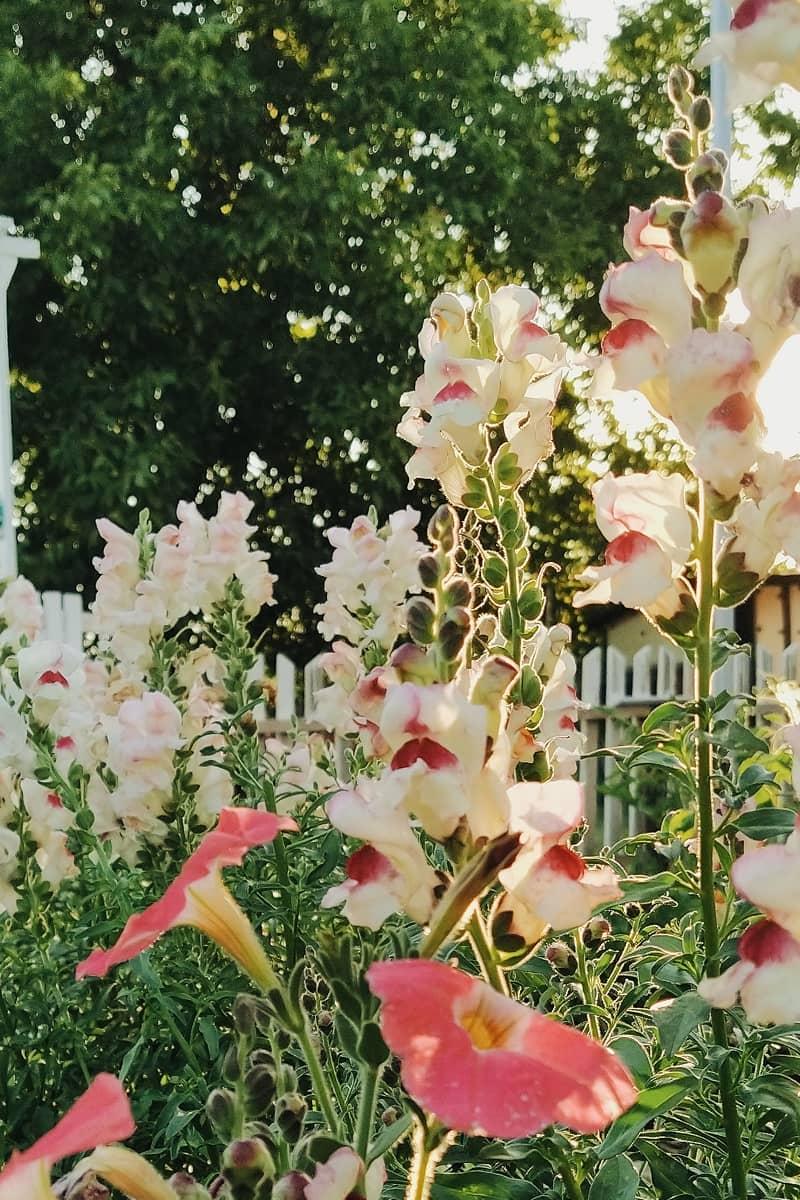 seminte de flori gura leului