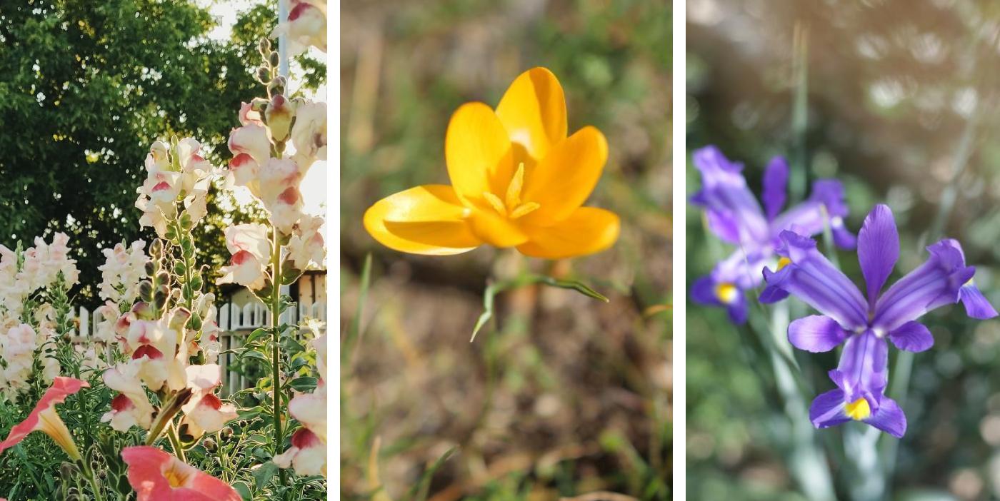 seminte si bulbi de flori