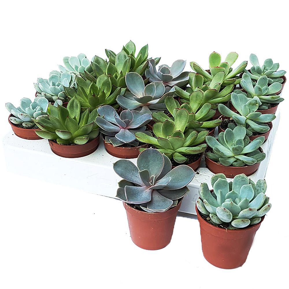 idei masa festiva cactusi