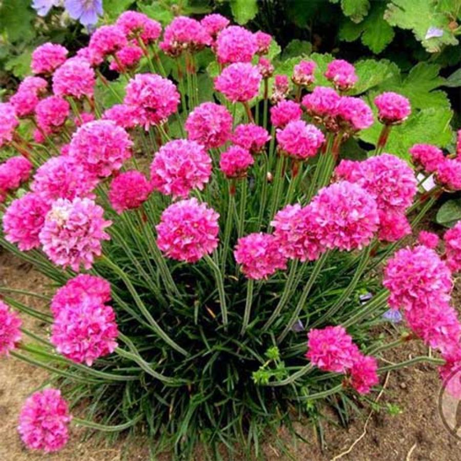 flori pentru balcon armeria maritima rosea