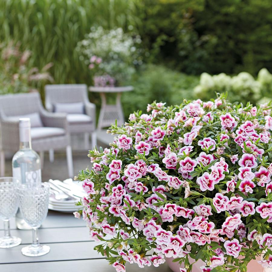 flori pentru balcon mini petunii calibrachoa
