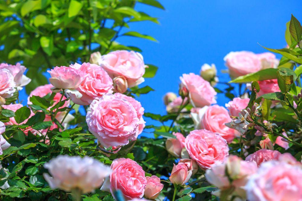 Cum îngrijești trandafirii