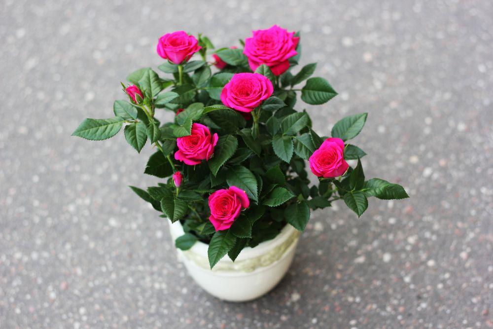 trandafiri pitici ghiveci
