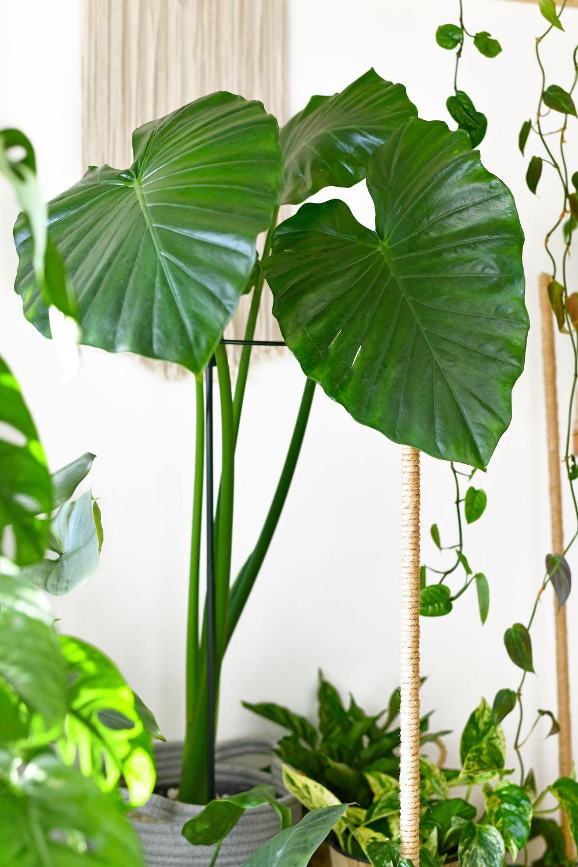 alocasia planta elefant