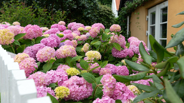 hortensia ingrijire