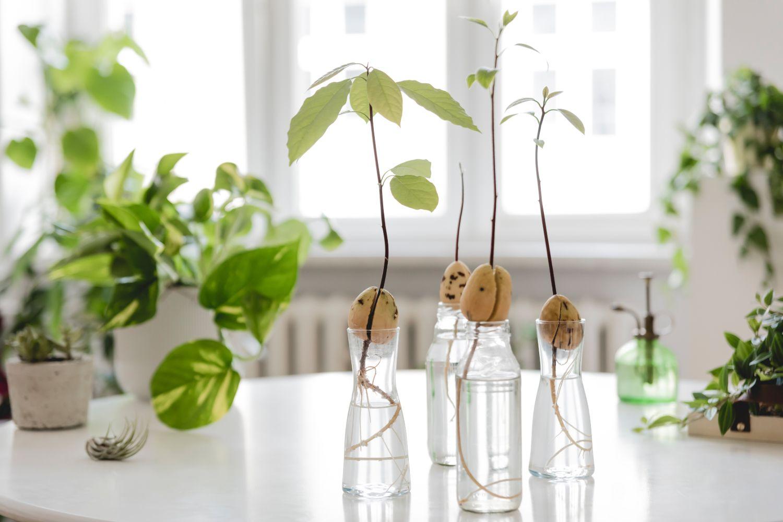 avocado-planta-tips-and-tricks-creștere