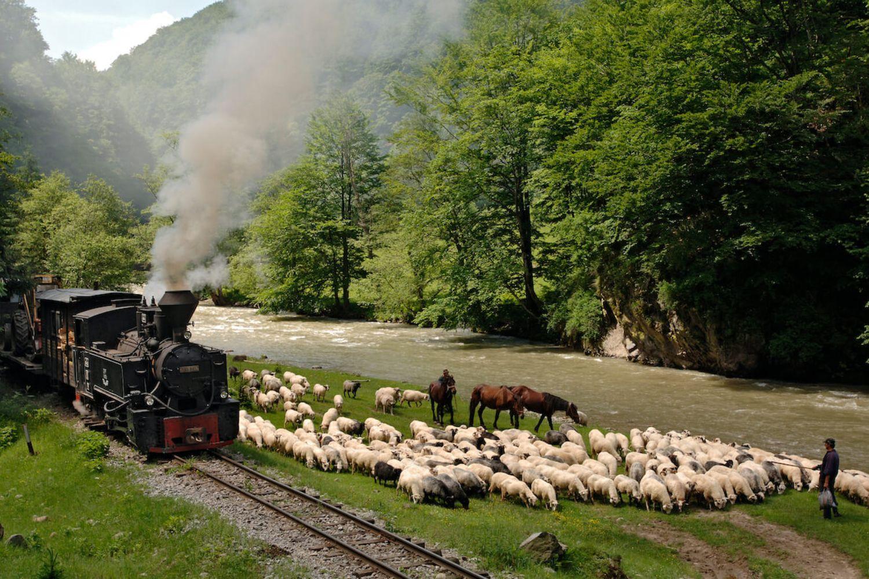Turmele de oi sunt obișnuite, deja, cu trecerea faimoasei locomotive cu aburi