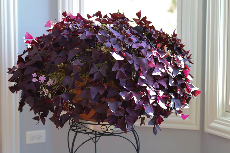 Oxalis,Triangularis,,Purple,Shamrocks,Are,Both,An,Indoor,And,Outdoor