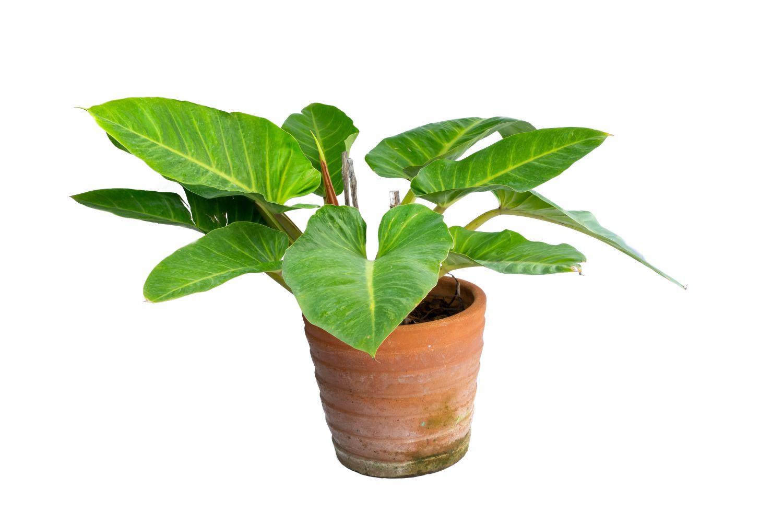philodendron plante nepretentioase