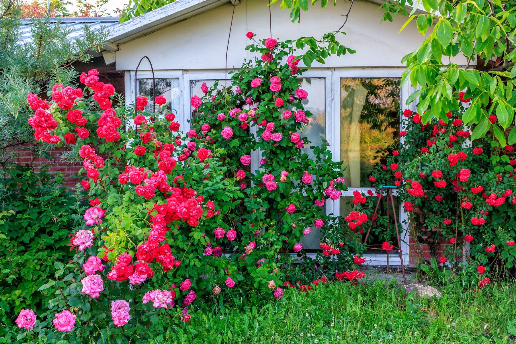 flori de gradina care infloresc tot anul