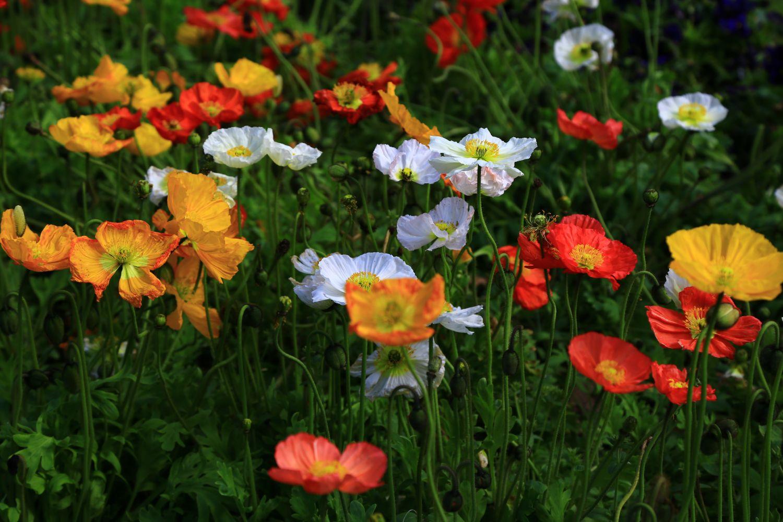 plante_de_grădină_care_înfloresc_tot_anul_anemone