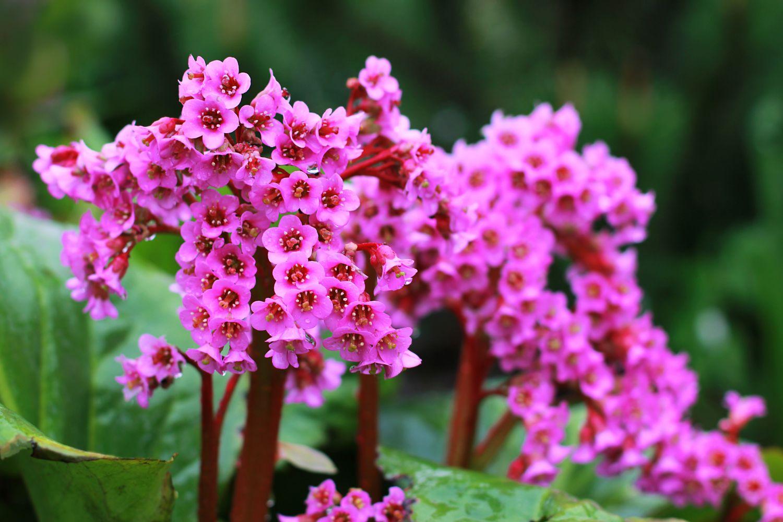 plante_de_grădină_care_înfloresc_tot_anul_bergenia