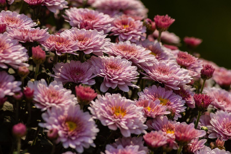 plante_de_grădină_care_înfloresc_tot_anul_crizantemă