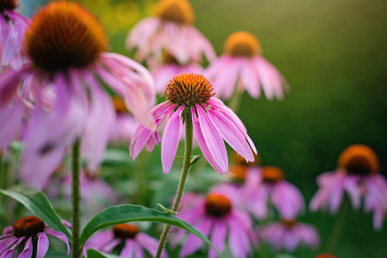 plante_de_grădină_care_înfloresc_tot_anul_echinacea