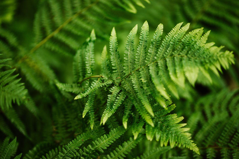 plante_de_grădină_care_înfloresc_tot_anul_ferigă
