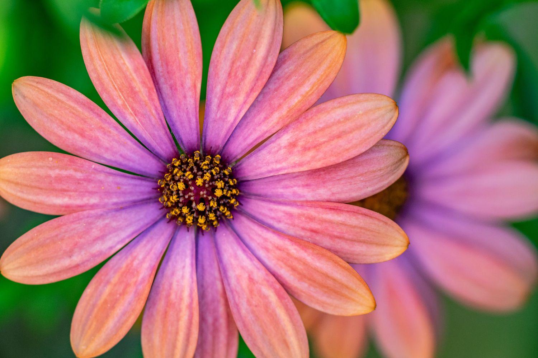 plante_de_grădină_care_înfloresc_tot_anul_gaillardia