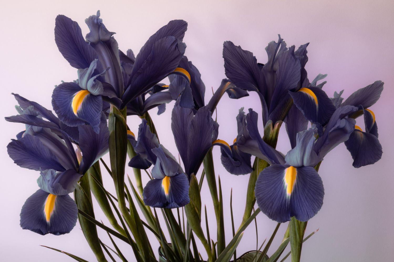 plante_de_grădină_care_înfloresc_tot_anul_iris