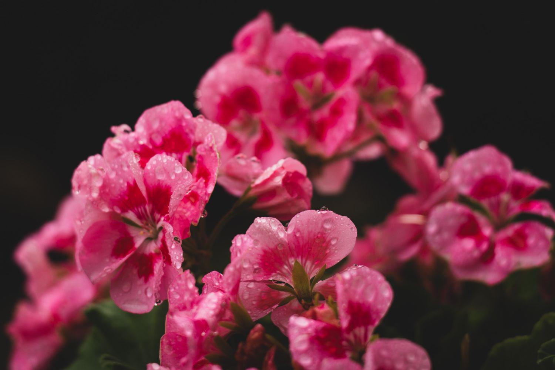 plante_de_grădină_care_înfloresc_tot_anul_mușcată